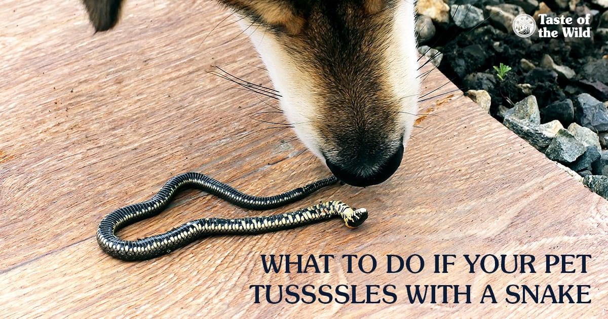 נחש נשך! הכלב או החתול שלך הוכשו - מה עושים ומה לא